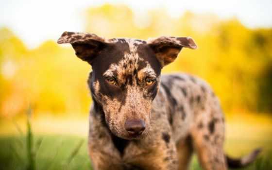 коричневый пес