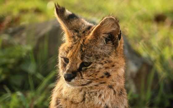 сервал, хищник, кот, янв, глаза, imgator, дикая, снег, fonxl,