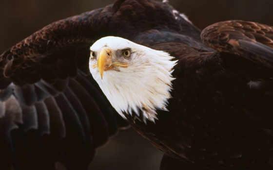 орлан, орлов, орлы, птицы, фотообои, птиц, виды, классификация, животных, темноте,