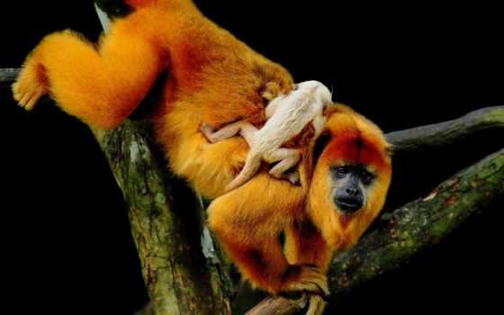 предпросмотром, качественные, обезьяны