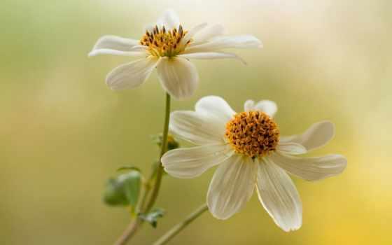 inka, kru, цветы