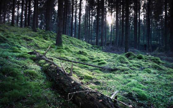 лес, trees, мох