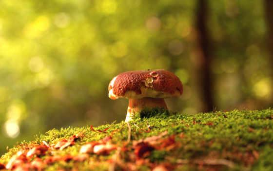 грибы, лес, осень, красивые, mushroom, природа,