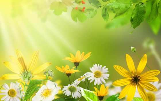 summer, природа, yellow, яркий, ромашка, зелёный, cvety, фоны, категории,