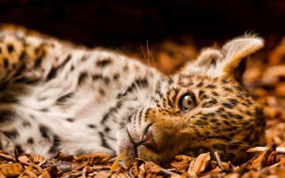 рисунок, фотографий, большие, леопард, кошки, fonds, столаs,