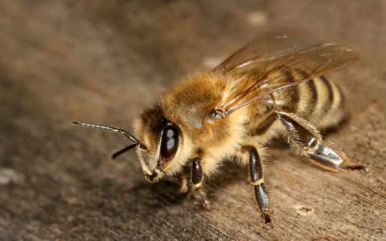 макро, пчела