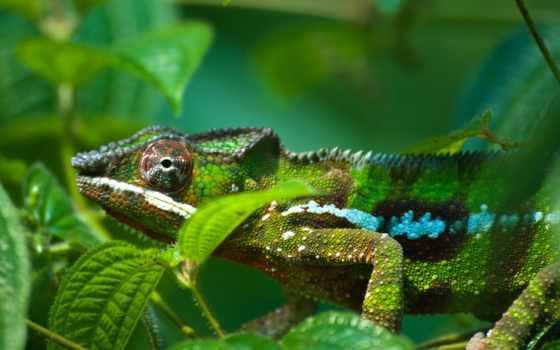хамелеон, chameleon, растровый