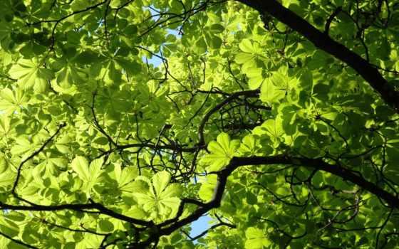 листва, весна, branch, дерево, ветви, зелёный, каштановый, цветы, растение, trees,