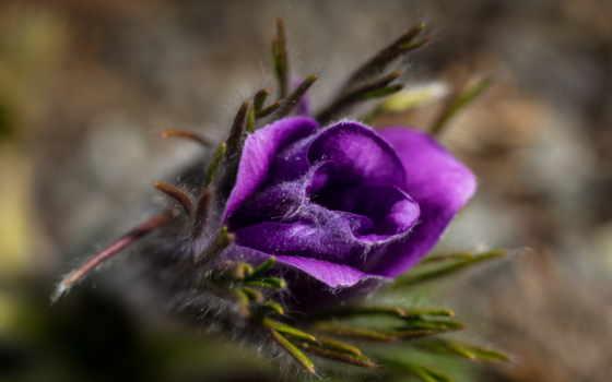 макро, цветы, природа, анемоны, makro,