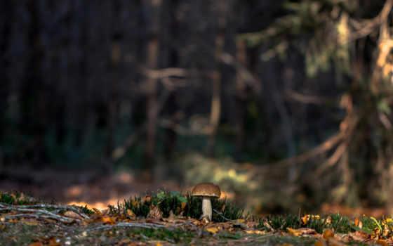 природа, mushroom, white, лес, мох, изображение, осень,