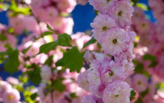 цветение, миндальный, cvety