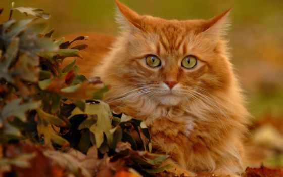 red, рыжие, кошки, кот, коты, кошек, color, осень, котов, рыжих,