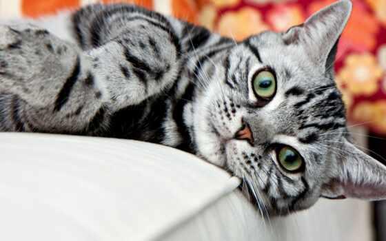 кот, home, shorthair, порода, hozyaeva, американский, among, animal, собака