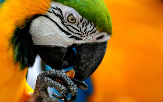 wallpaper, macaw