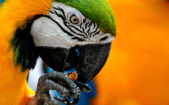 wallpaper, macaw, blue, and, yellow, desktop, изображения, parrot, animals, hd,