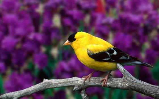 goldfinch, американский, птица, desktop, carduelis, finch, other,