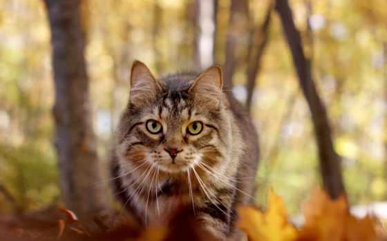 tapety, kot, осень, кот, кун, мэн, взгляд,