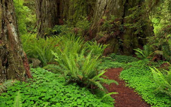 лесная, тропинка, лес, дорога, лесу, фоны, стволы,