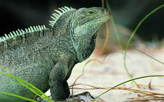 iguana, ящер, you, free, можно, high,