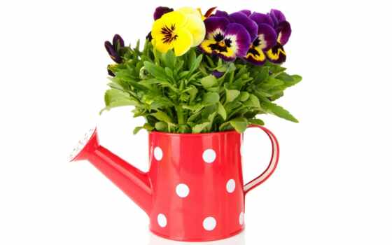 garden, виола, глазки, анютины, plants, cvety, pēc, atlasīt, фиолетовый, white, фон,