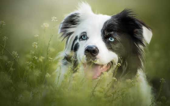 собака, spot, black, aussie, white, dogs,