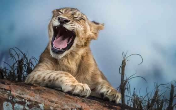 львенок, котенок, lion, смеётся, кот, flickr,