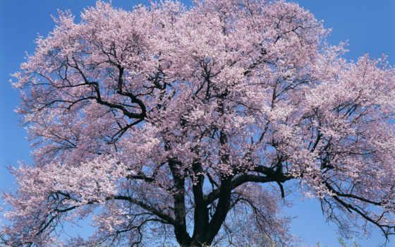 Сакура, tree