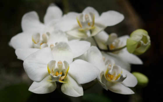 орхидеи, цветы