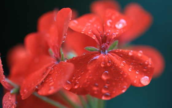 капли, макро, цветы