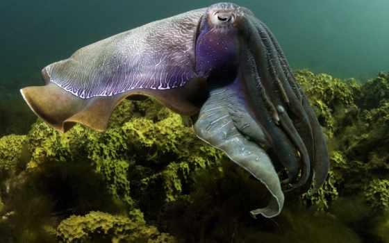 cuttlefish, кальмары, гигантская, австралийская, осьминоги, каракатиц, аквамир, гигантские, мире,