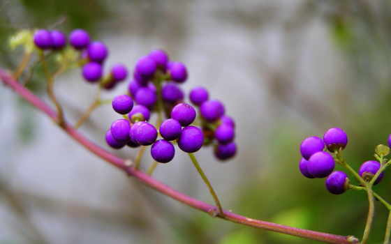природа, фиолетовые, branch, iphone, ягоды, калликарпа, browse,