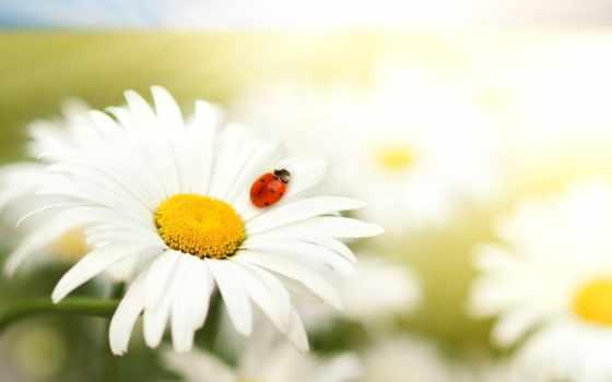 ромашки, рождения, днем, cvety, ромашка, любви, картинка, rub, заказать, день,
