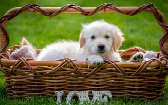 retriever, золотистый, labrador, tapety, szczeniak, tapeta, собака, koszyku, собаки,