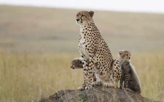 кошки, free, гепарды, дикие, фотографий, семья,