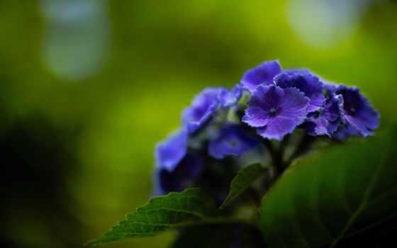 гортензия, purple, цветы, ноутбук, фон