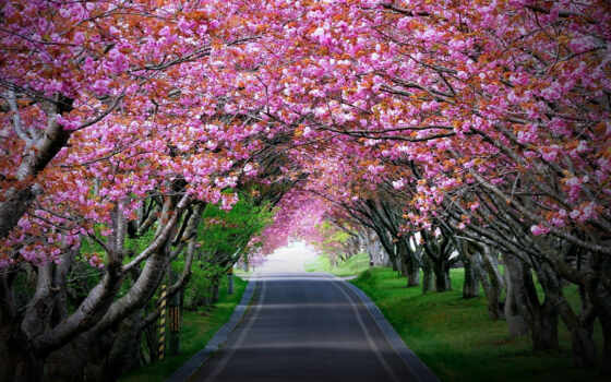 Сакура, цветение, garden, cherry, japanese, коллекция, яndex, дорога