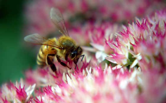 пчела, нектар