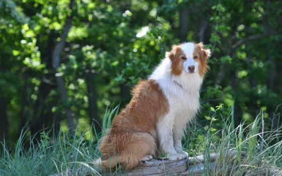 собака Фон № 27441 разрешение 1920x1200