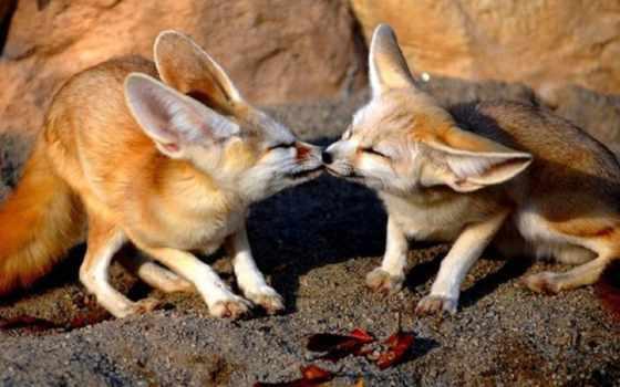 fox, fennec, нравится