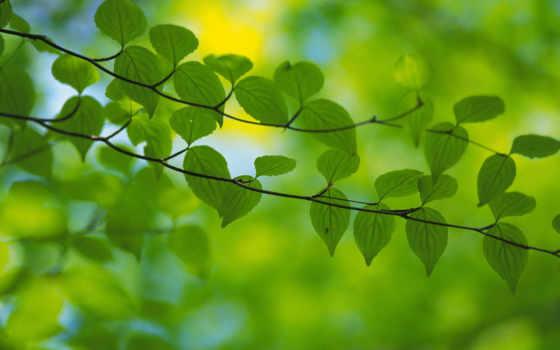 весна, зелень, листья