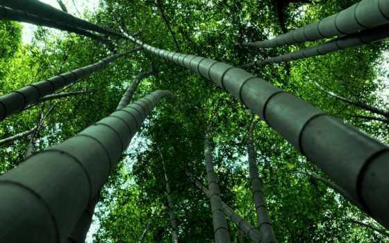 бамбук, ниже, кроны, browse, стебли, лес, листва, trees,