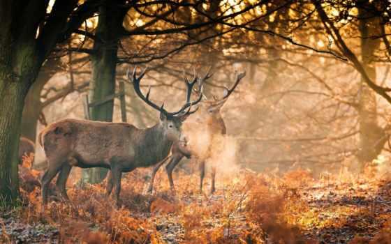 zhivotnye, осень, рога, олени, листопад, rays, sveta, два, леса, trees,