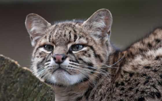 жоффруа, кот, кошки, вконтакте, именем, zoo, пользователей, free, rybnitsa,