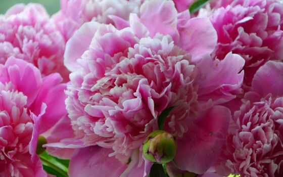 пионы, cvety, зелёный, красиво, красивые, большой, plan, summer, пион, розовый,