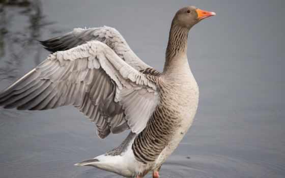 goose, гуси, птицы, картинка, требующие, домашние, дорогие, важные,