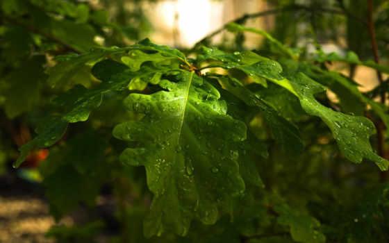 oak, листья