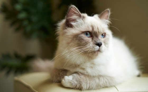 кот, кошек, свет, лежит, cats, взгляд, голубые, дикая, pixels,