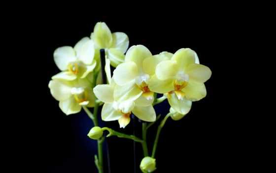орхидея, фаленопсис, орхидеи