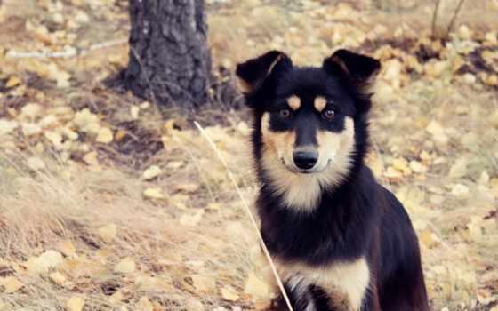 полукровка, собака, взгляд, листва, осень,