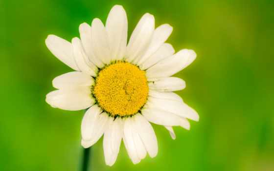 fiore, lill, часть, fiori, ромашка, white, lilled, цветы, разрешений, природы,